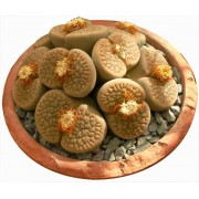 Lithops and Mesemb Seeds
