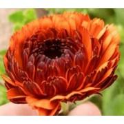Garden Flower Seeds - Annuals