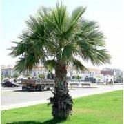 Palm Seeds