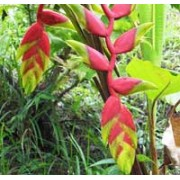 Tropical Plant Seeds - World Wonders Gardens - Seed Specialist