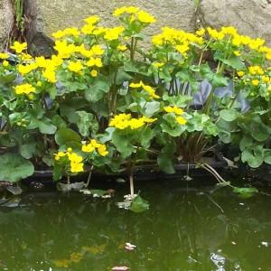Caltha Palustris - 50 Seeds - Marsh Marigold