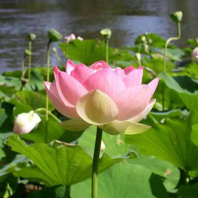 Nelumbo Nucifera 6 Seeds Sacred Lotus Flower