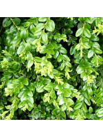 Buxus Sempervirens - 50 Seeds - Common or European Box