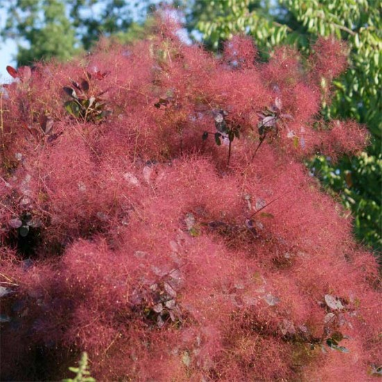 Cotinus Coggygria v PURPUREUS - 30 Seeds - Purple Smoke Tree Bush