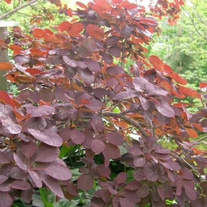 Cotinus Coggygria v PURPUREUS - 30 Seeds - Purple Smoke Tree Bush