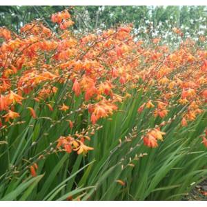 Crocosmia Aurea - 20 Seeds - Falling Stars / Valentine Flower