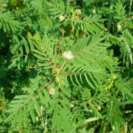 Desmanthus Illinoensis - 100 Seeds - Prairie Mimosa