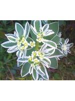 Euphorbia Marginata Summer Icicle - 30 Seeds