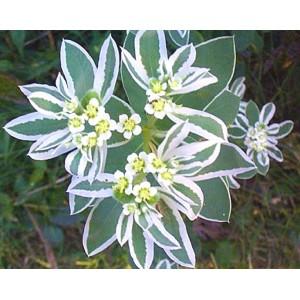 Euphorbia Marginata 'Mountain Snow' - 30 Seeds
