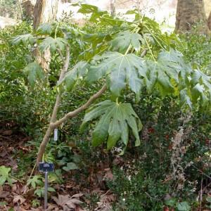 Fatsia Japonica - 50 Seeds - Japanese Aralia