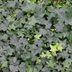 Hedera Helix - 30 Seeds - Common Ivy