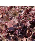 Heuchera Micrantha Palace Purple - 100 Seeds