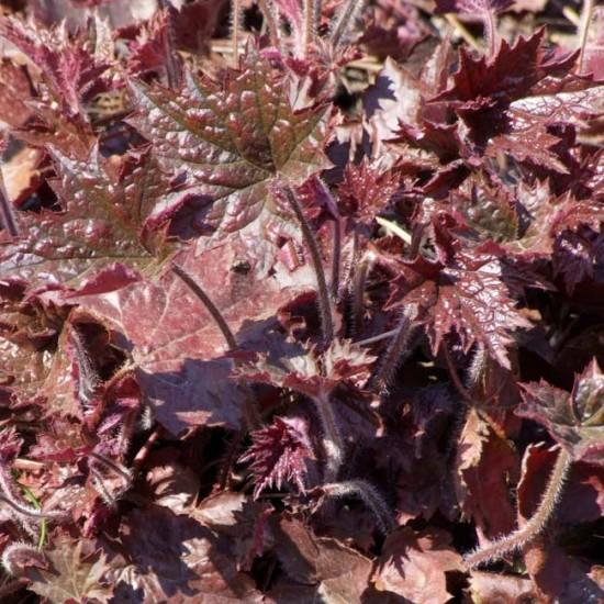 Heuchera Micrantha Palace Purple - 100 Seeds