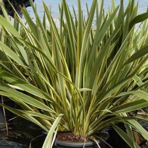 Phormium Tenax Variegata - 25 Seeds - Variegated New Zealand Flax