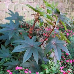 Ricinus Communis - 20 Seeds - Castor Oil Plant, Castorbean