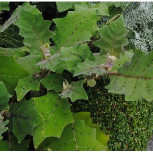 Naranjilla - Solanum Quitoense - 25 Seeds