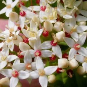 Cornus Sericea (stolonifera) - 20 Seeds - Red Osier / Redtwig Dogwood