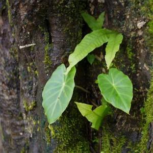 Remusatia Vivipara - 10 Seeds - Hitchhiker Elephant Ear