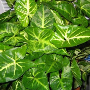 Syngonium Podophyllum - 20 Seeds - Arrowhead Plant