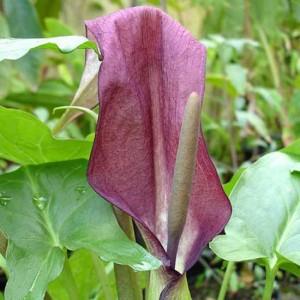 Arum Cyrenaicum - 10 Seeds - Rarely Offered Aroid