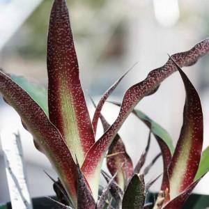 Fosterella Villosula - 20 Seeds - Bolivia Bromeliad Bromelia