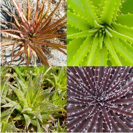 Hechtia - Dyckia - Deuterocohnia Mixture - 50 Seeds - Mexican Bromeliad