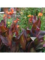 Canna Durban - 3 Rhizome / Bulb - Variegated Burgundy Leaf Canna - Ready to Grow