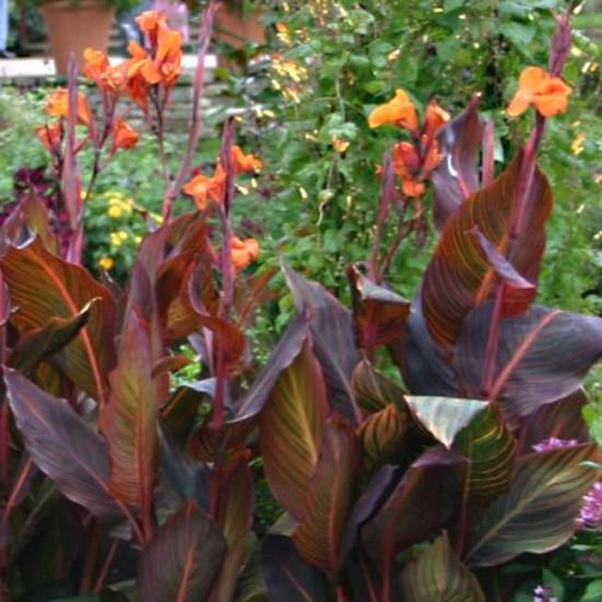 Canna Durban - 5 Rhizome / Bulb - Variegated Burgundy Leaf Canna - Ready to Grow