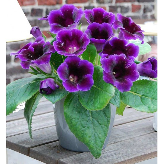 Gloxinia Violacea - 3 Ready to grow Bulb