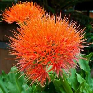 Scadoxus Multiflorus - 3 Bulbs - African Blood Lily