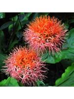 Scadoxus Multiflorus - 1 Bulb - African Blood Lily