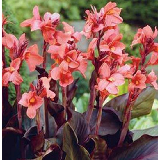 Canna Angelique - 3 Rhizome / Bulb - Burgundy Canna - Dormant and Ready to Grow