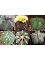 Astrophytum Mixture - 50 Seeds - Unusual Cultivars Mexican Cacti Cactus