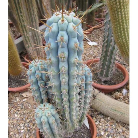 Azureocereus Hertlingianus - 15 Seeds - Blue Cereus Cactus Cacti