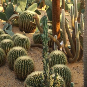 Cactus Mix - 100 Seeds - A Good Assortment Of Species and Forms