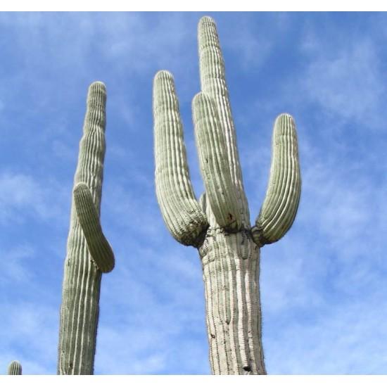 Carnegia Gigantea - 10 Seeds - Giant Saguaro Cactus