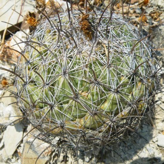 Coryphantha Cornifera - 15 Seeds - Rhinoceros Cactus Cacti