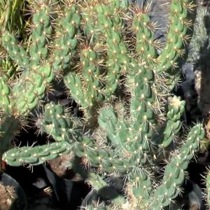 Cylindropuntia Imbricata - 20 Seeds - Tree Cholla Cactus