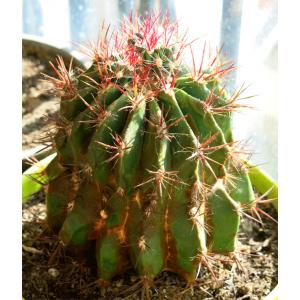 Ferocactus Latispinus - 15 Seeds - Mexico Barrel Cactus