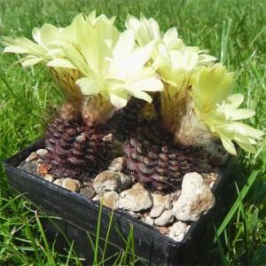 Frailea Angelesii - 10 Seeds - Unusual South American Cacti / Cactus