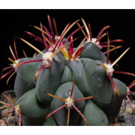 Glandulicactus Crassihamatus - 10 Seeds - Fish-hook Cactus Cacti
