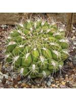 Gymnocalycium Pflanzii - 15 Seeds - Barrel Cactus Cacti