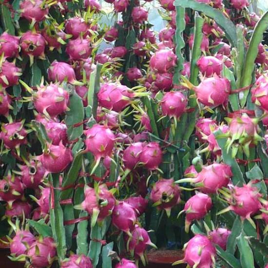 Hylocereus Undatus - 20 Seeds - Dragon Fruit Cacti / Succulent