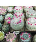 Mammillaria Cactus Mixture - 100 Seeds