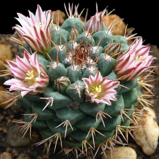 Mammillaria Boelderliana - 15 Seeds - Mexican Cacti Cactus