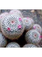 Mammillaria Parkinsonii - 15 Seeds - Owls Eye Cactus Cacti