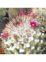 Mammillaria Bombycina - 15 Seeds - Cactus