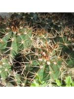 Melocactus Neryi - 15 Seeds - Turks Cap Cacti Cactus