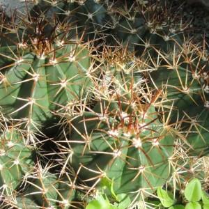 Melocactus Neryi - 100 Seeds - Turks Cap Cacti Cactus