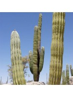 Pachycereus Pringlei - 25 Seeds - Mexican Giant Cardon or Elephant Cactus